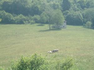 Mucche al pascolo e baita sopra la Tagliata di Cornalba