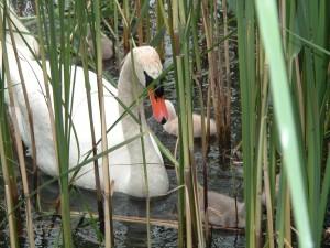 L'amore della mamma cigno, lago di Endine, Bergamo