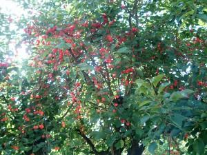 § particolare albero di ciliegie